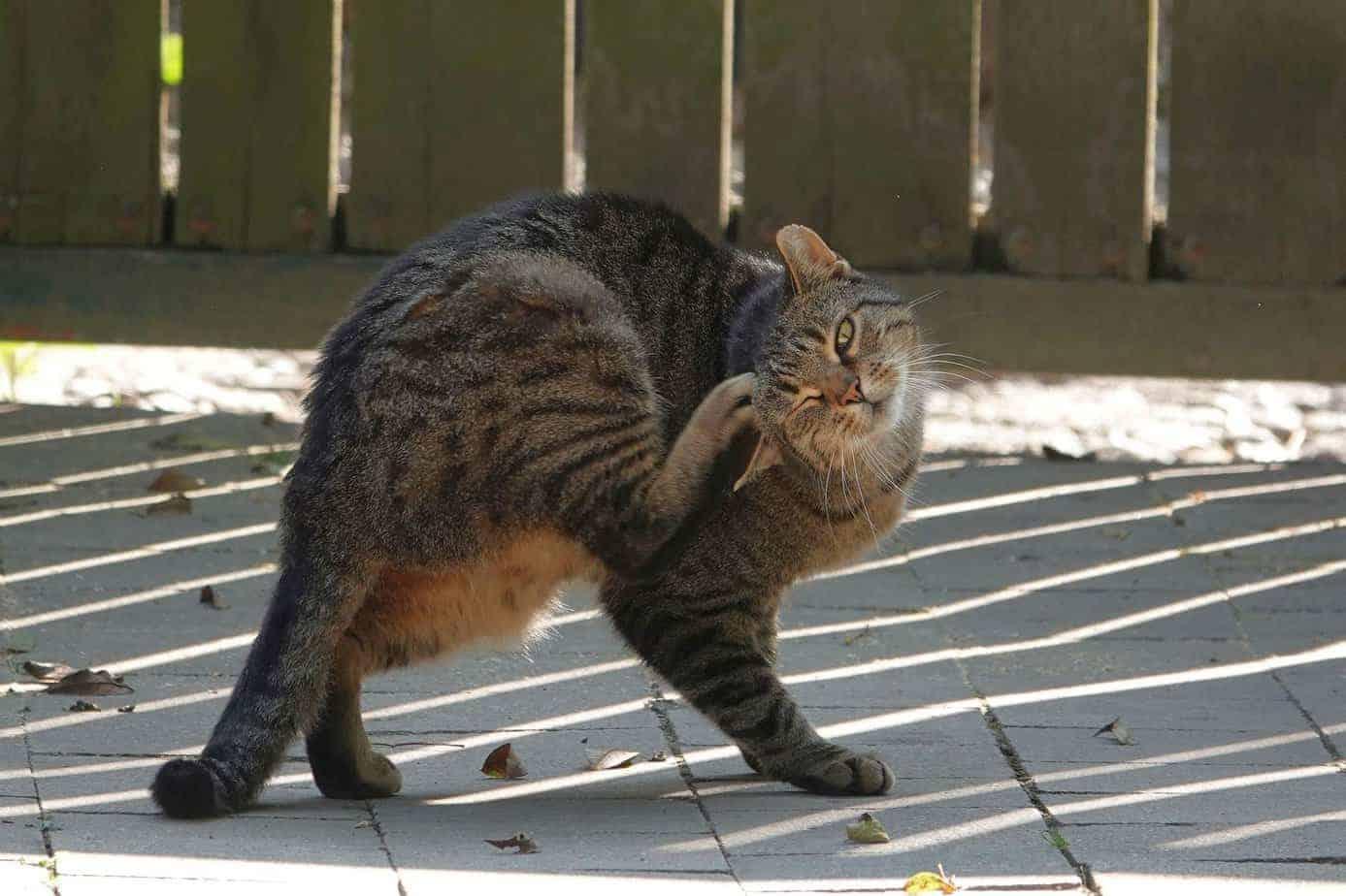 Protéger les chats contre les puces et combattre les tiques de façon fiable