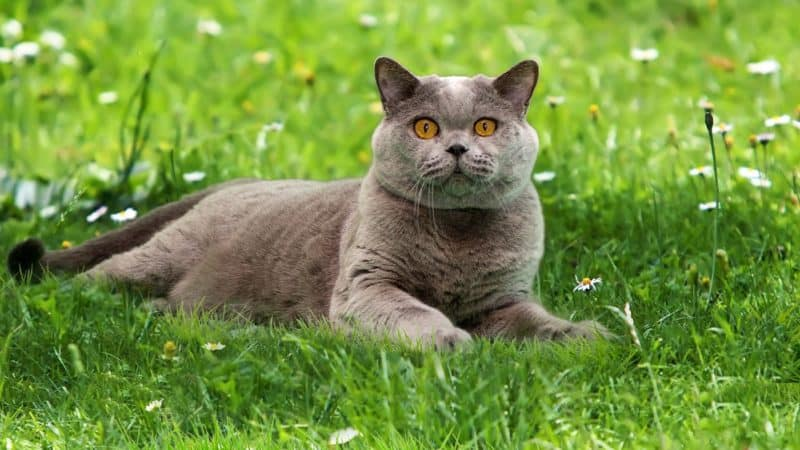British Shorthair Cats – un retrato de raza