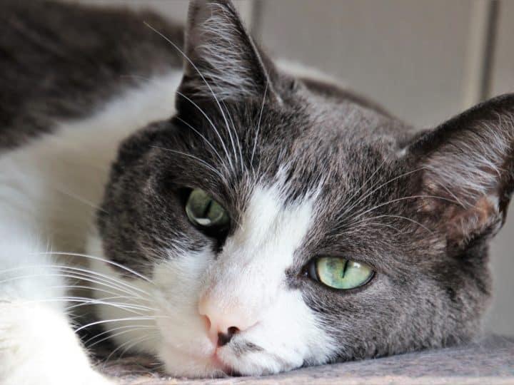 Comment prévenir et traiter des pierres de bulles ou des pierres struvites chez les chats?