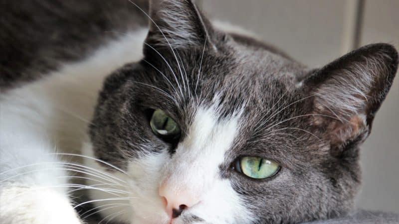 Wie kann man Blasensteinen oder Struvitsteinen bei Katzen vorbeugen und behandeln?