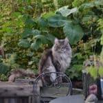 Chat norvégien de forêt