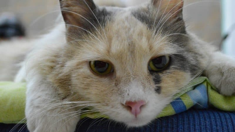 Die chronische Niereninsuffizienz – eine der tödlichsten Erkrankungen bei Katzen.