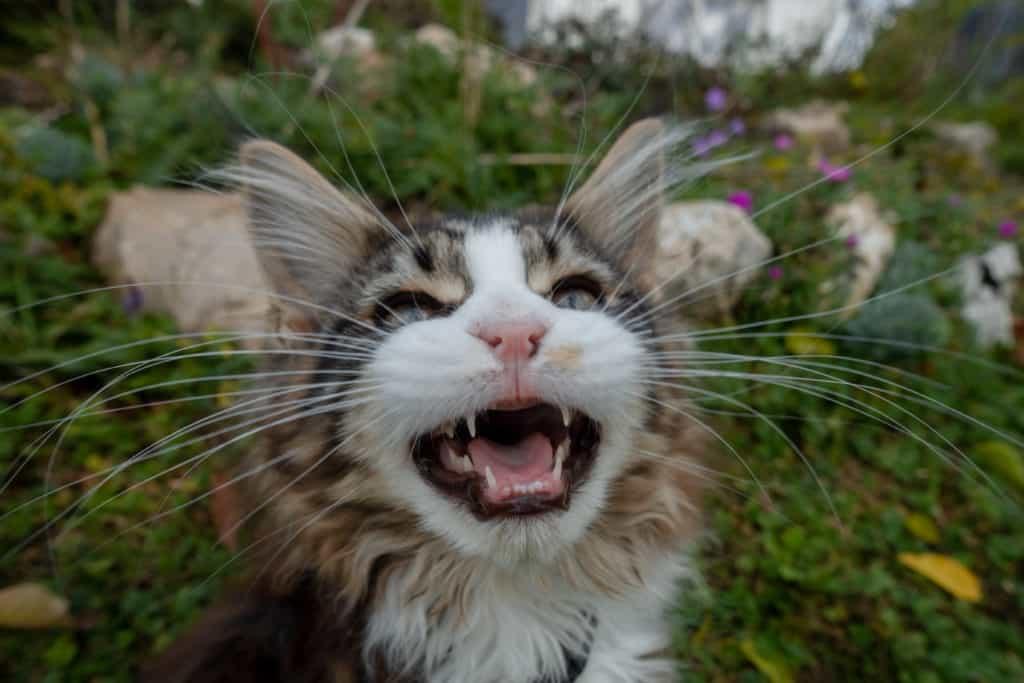 Katze miaut