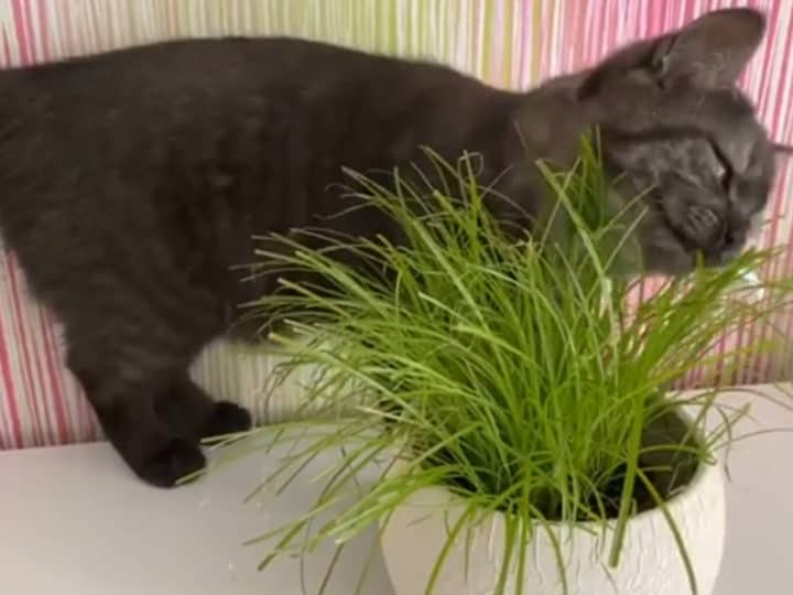 Does my cat need cat grass?