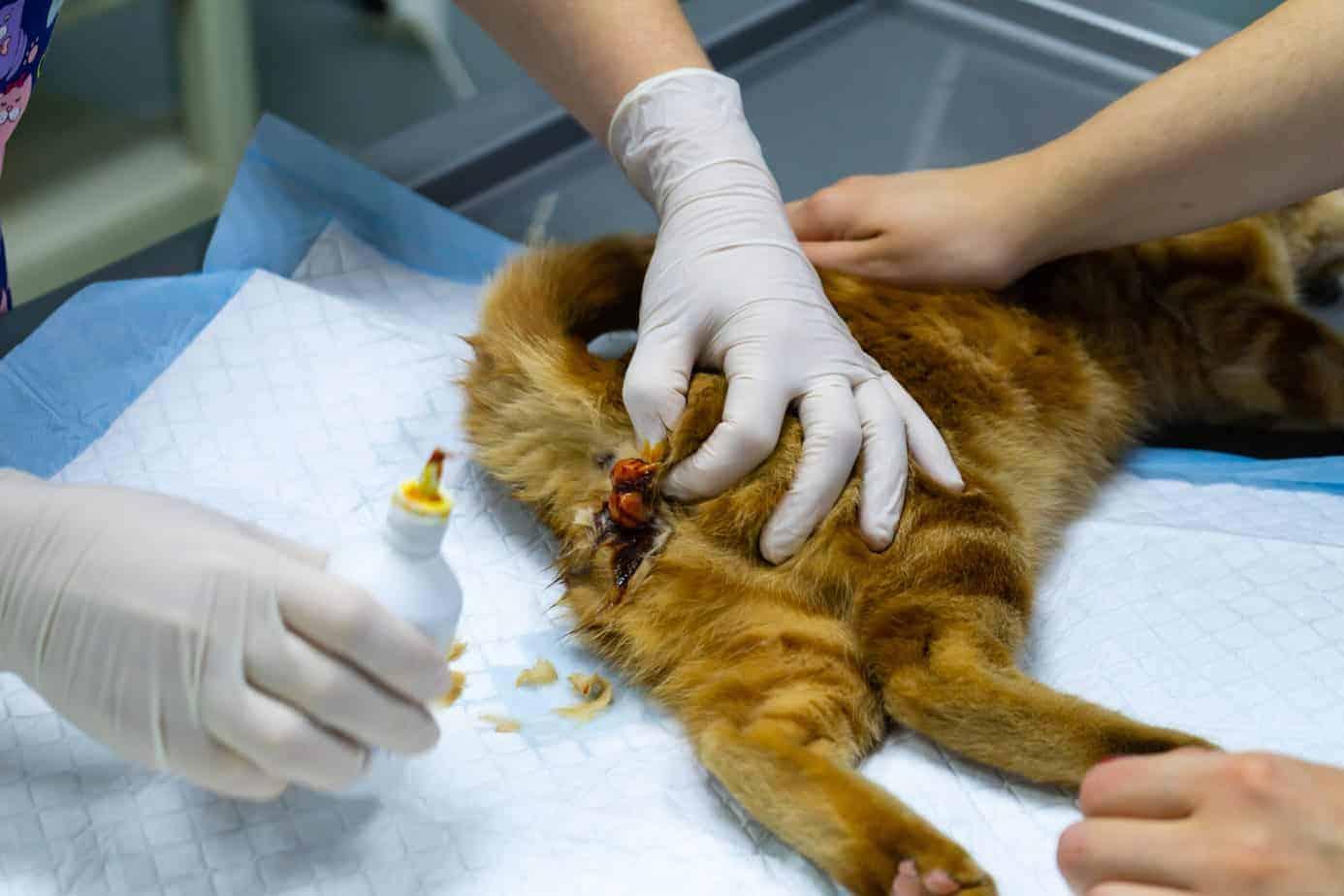 Castration des chats – Ce qu'il faut savoir