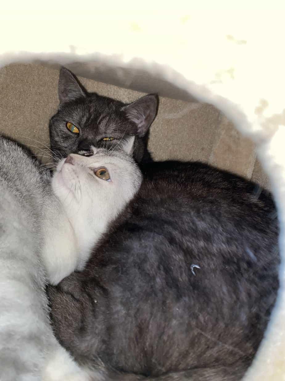 BKH Katze Josie und Luna