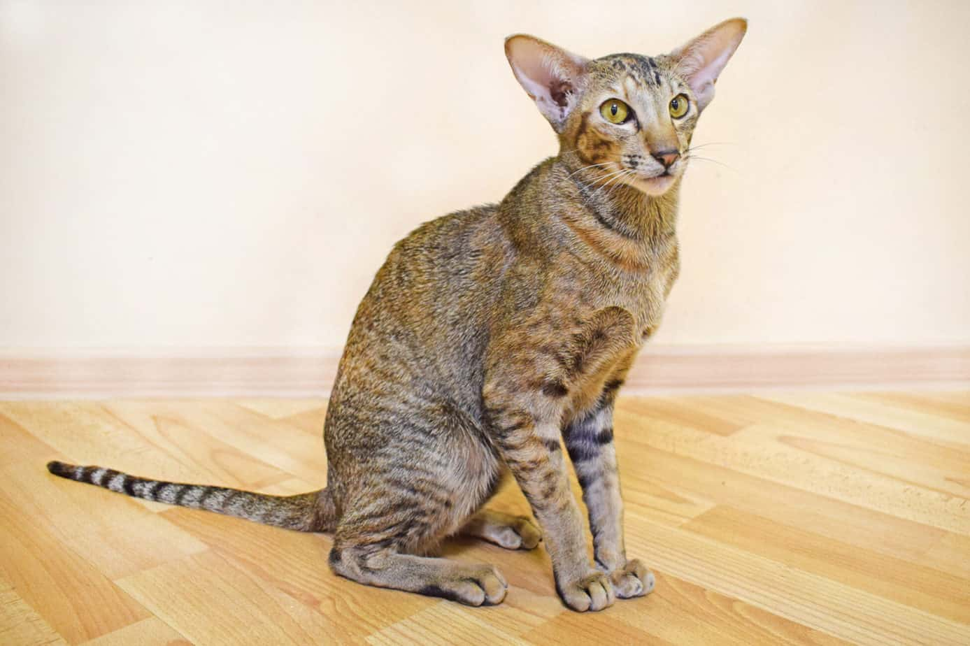 Allergy-free cat Oriental shorthaired cat
