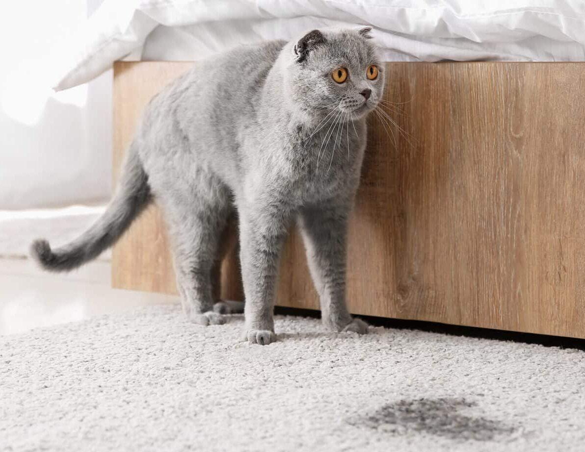 Die Katze pinkelt in die Wohnung oder markiert. Was kann man dagegen tun? 1